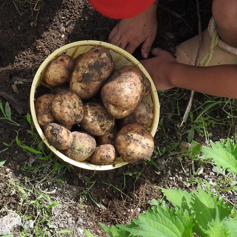 【中津店】ジャガイモの種芋植え付け体験 in 西日本ホーム中津店《完全予約制 先着20組様》